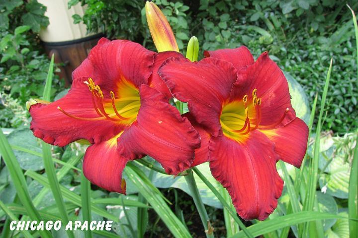 Photo of Daylily (Hemerocallis 'Chicago Apache') uploaded by mcash70