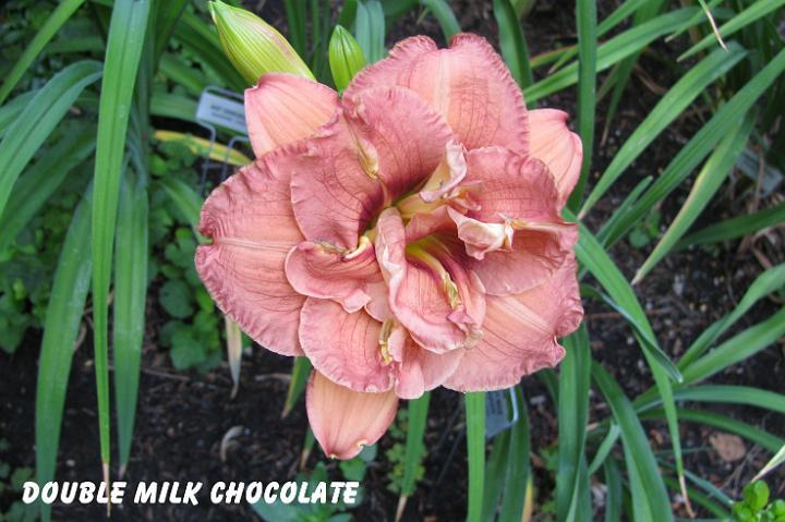 Photo of Daylily (Hemerocallis 'Double Milk Chocolate') uploaded by mcash70