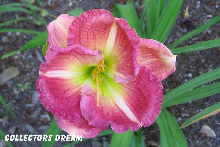 Photo of Daylily (Hemerocallis 'Collector's Dream') uploaded by mcash70