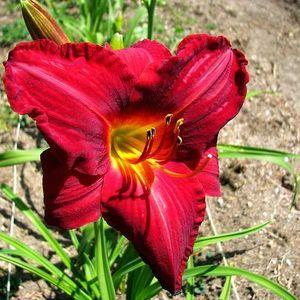 Photo of Daylily (Hemerocallis 'Rufus') uploaded by vic