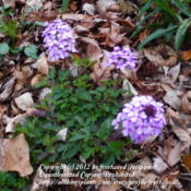 Location: My yard in Arlington, Texas.Date: Winter 2012It  has a lovely scent.