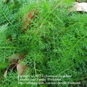Location: My yard in Arlington, Texas.Date: Winter 2012The lovely ferny foliage.