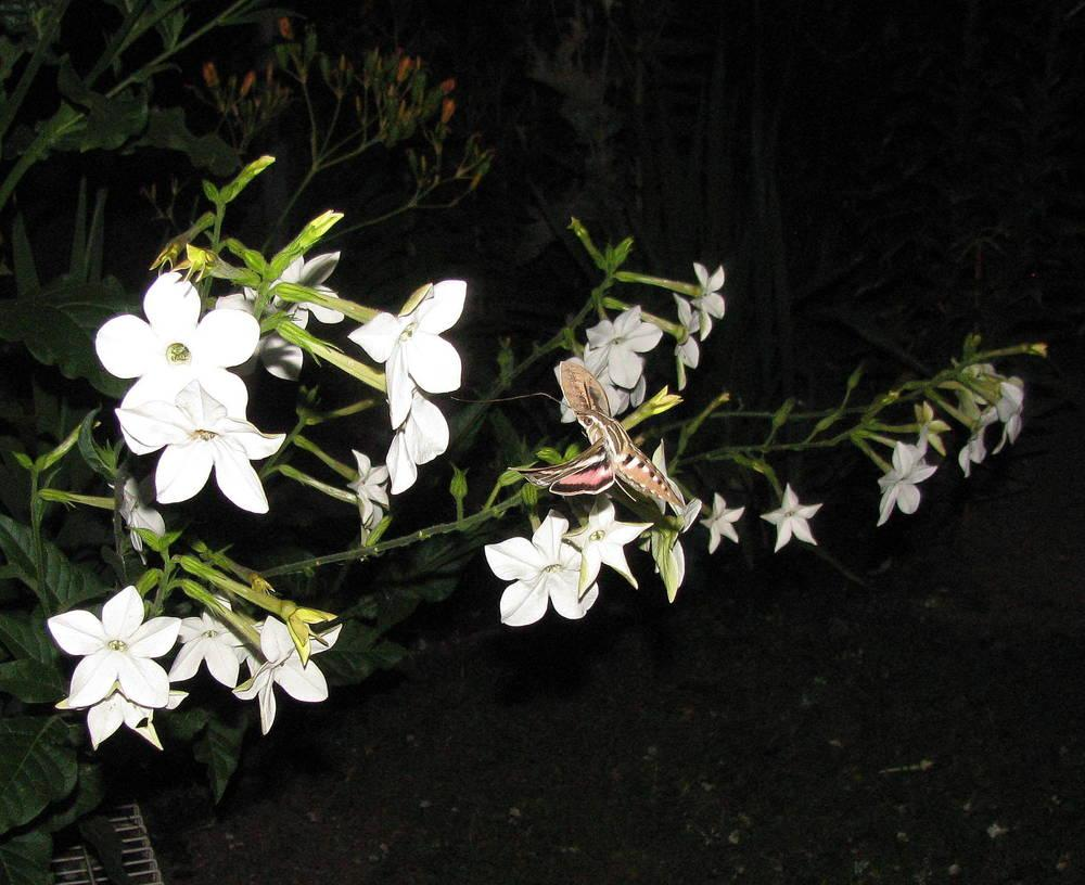 Photo of Nicotianas (Nicotiana) uploaded by jmorth