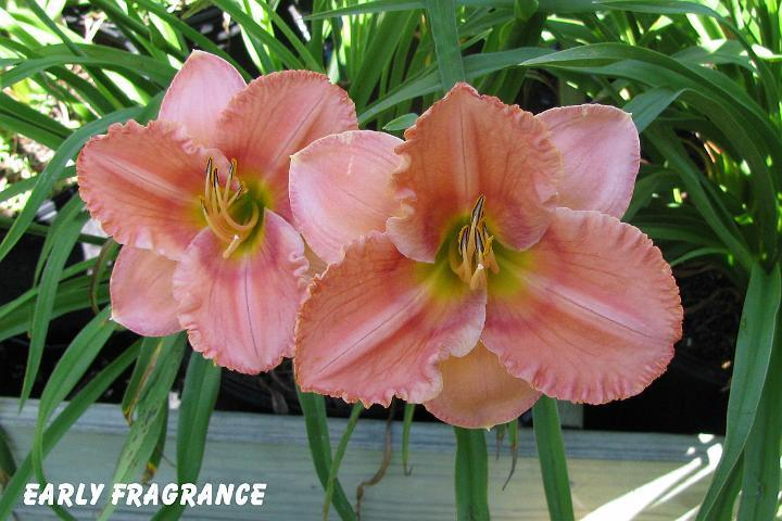 Photo of Daylily (Hemerocallis 'Early Fragrance') uploaded by mcash70