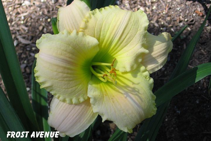 Photo of Daylily (Hemerocallis 'Frost Avenue') uploaded by mcash70