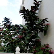 Location: Orlando, Central Florida, zone 9bDate: 2012-02-11Clerodendrum quadriloculare