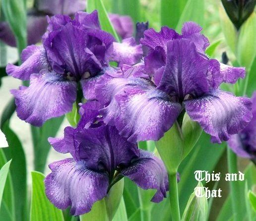 Photo of Intermediate Bearded Iris (Iris 'This and That') uploaded by Ladylovingdove