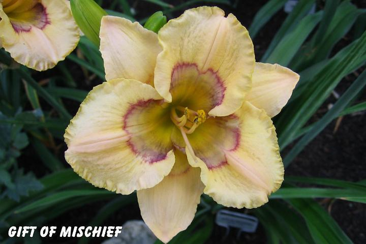 Photo of Daylily (Hemerocallis 'Gift of Mischief') uploaded by mcash70
