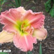 Location: BX Creek Daylilies, Vernon, BC.Photo by Gail Morgan of BX Creek Daylilies. Used with p