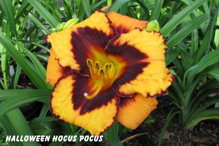 Photo of Daylily (Hemerocallis 'Halloween Hocus Pocus') uploaded by mcash70
