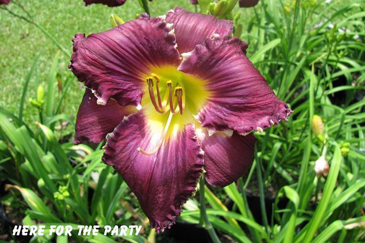 Photo of Daylily (Hemerocallis 'Here for the Party') uploaded by mcash70