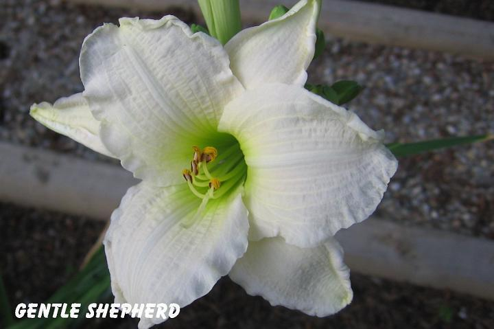 Photo of Daylily (Hemerocallis 'Gentle Shepherd') uploaded by mcash70