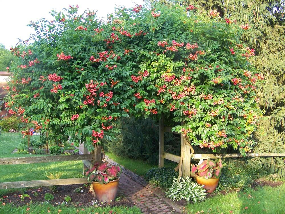 Photo Of The Entire Plant Of Trumpet Creeper Campsis