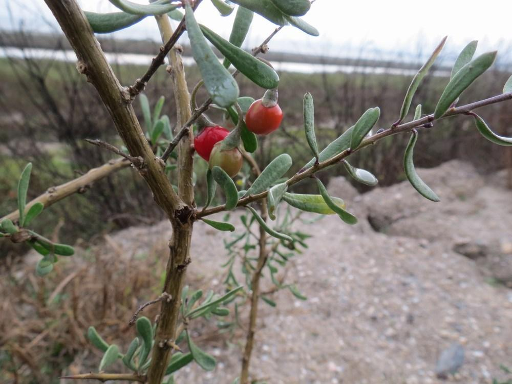 Photo of Christmasberry (Lycium carolinianum) uploaded by Horntoad