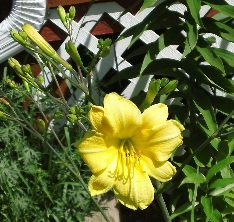 Photo of Daylily (Hemerocallis 'A Small Multitude') uploaded by TreeClimber