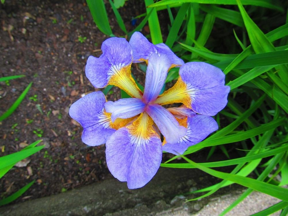 Photo of Irises (Iris) uploaded by jmorth