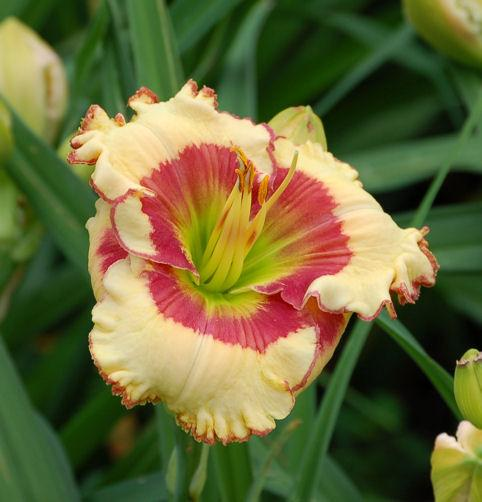 Photo of Daylily (Hemerocallis 'Elisa Dallas') uploaded by mbouman