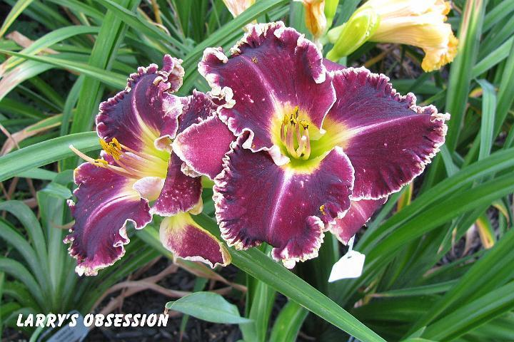 Photo of Daylily (Hemerocallis 'Larry's Obsession') uploaded by mcash70