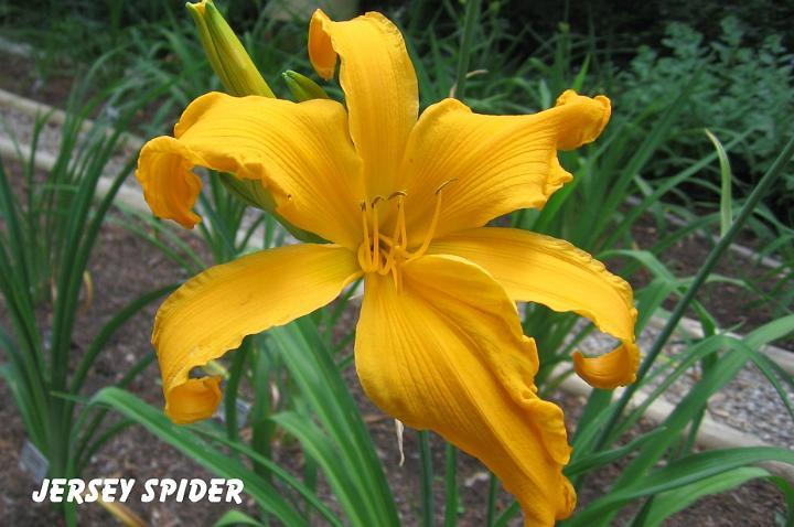 Photo of Daylily (Hemerocallis 'Jersey Spider') uploaded by mcash70