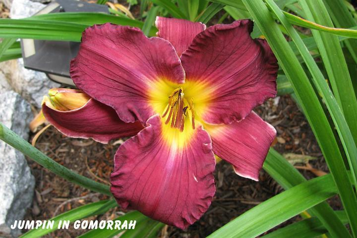Photo of Daylily (Hemerocallis 'Jumpin in Gomorrah') uploaded by mcash70