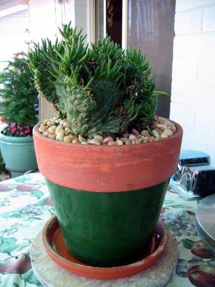 Photo of Crested Eve's Needle (Austrocylindropuntia subulata 'Cristata') uploaded by GardenGuyAZ