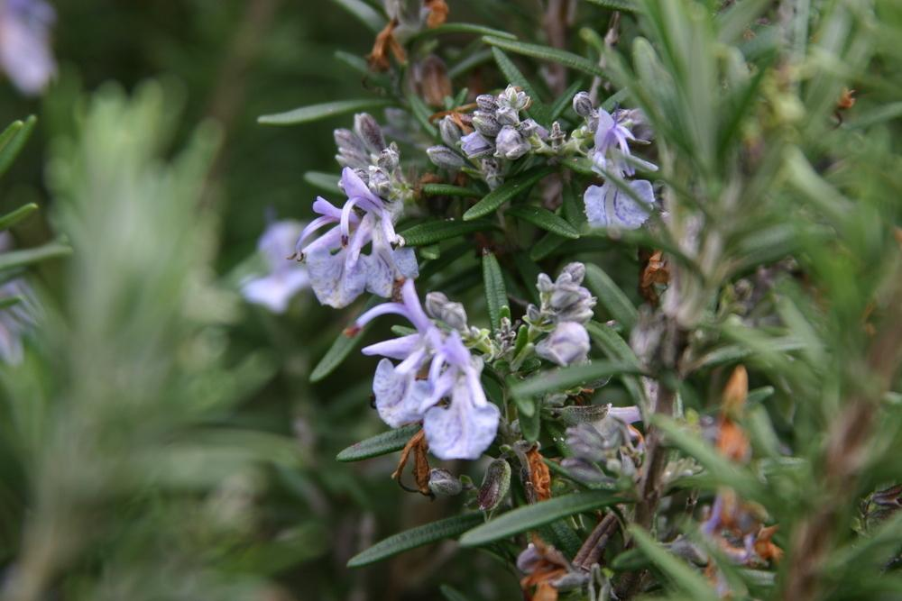 Photo of Rosemary (Salvia rosmarinus) uploaded by dave
