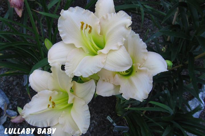 Photo of Daylily (Hemerocallis 'Lullaby Baby') uploaded by mcash70