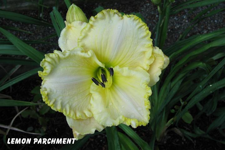 Photo of Daylily (Hemerocallis 'Lemon Parchment') uploaded by mcash70