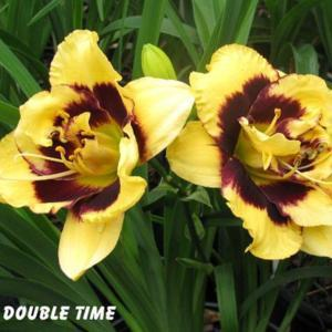 Photo by Gail Morgan of BX Creek Daylilies. Used with permission.