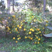 Location: Our Yard DeLand, FLDate: 2007-12-21Meyer Lemon