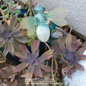 Location: At our garden - Central Valley area, CADate: 2012-02-09Graptoveria 'Fred Ives' during winter
