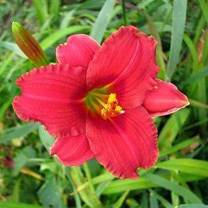 Photo of Daylily (Hemerocallis 'Siloam Red Toy') uploaded by vic