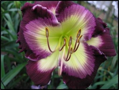 Photo of Daylily (Hemerocallis 'Ghosts and Goblins') uploaded by Calif_Sue