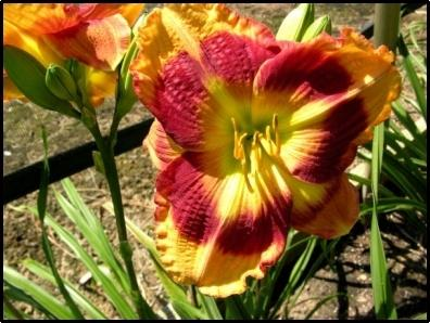 Photo of Daylily (Hemerocallis 'Dimpled Dynamite') uploaded by Calif_Sue