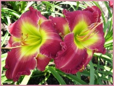 Photo of Daylily (Hemerocallis 'Beauty of the Empire') uploaded by Calif_Sue