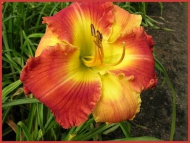 Photo of Daylily (Hemerocallis 'Bicolor Beautiful') uploaded by Calif_Sue