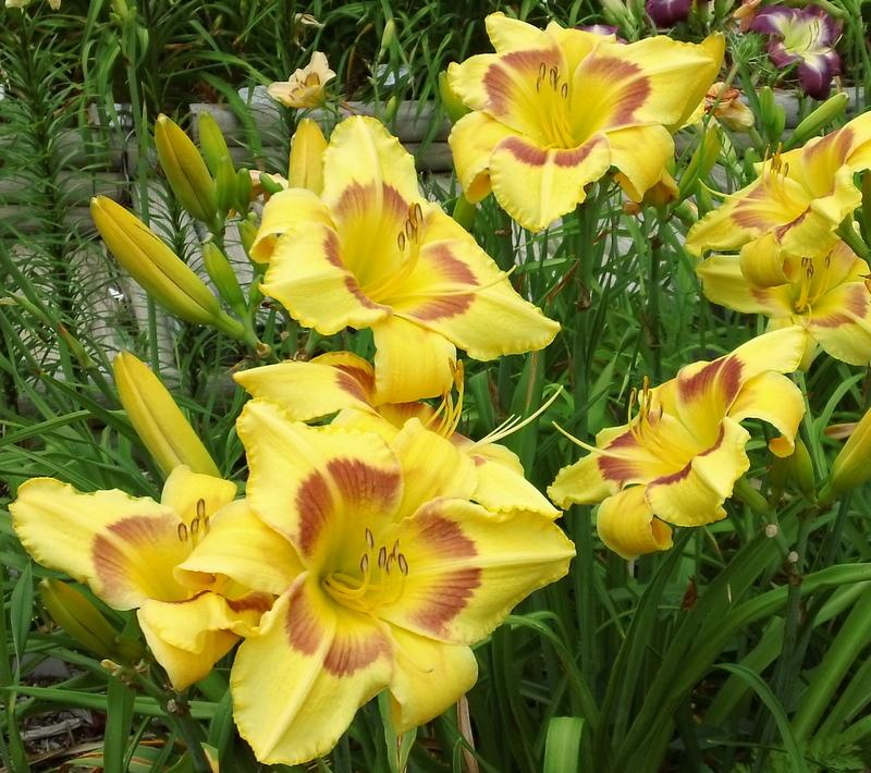Photo of Daylily (Hemerocallis 'King George') uploaded by TreeClimber