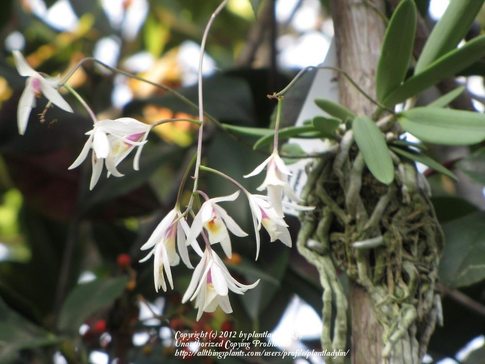 Photo of Orchid (Broughtonia cubensis) uploaded by plantladylin