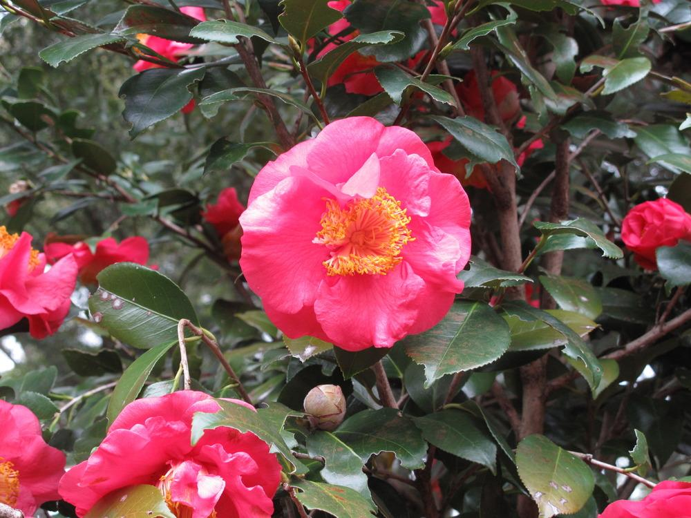 Photo of Camellias (Camellia) uploaded by rocklady
