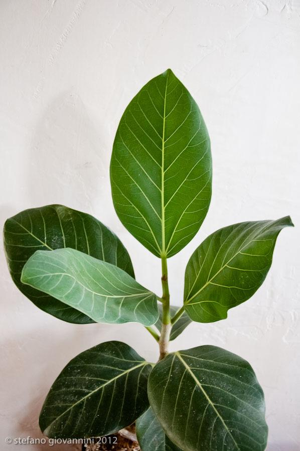 banyan tree leaf - photo #19