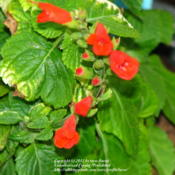 Location: At our garden - Central Valley area, CADate: 2012-02-17Our new Salvia subrotunda actively in bloom