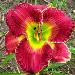 Photo of Daylily (Hemerocallis 'Wizards Heir') uploaded by vic