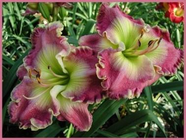 Photo of Daylily (Hemerocallis 'Morning Breaks Eternal') uploaded by Calif_Sue