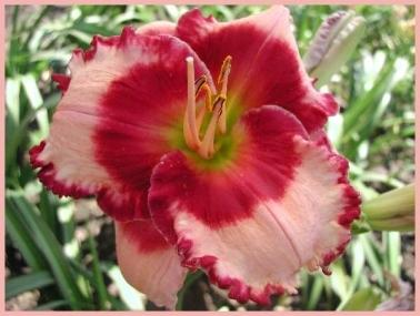 Photo of Daylily (Hemerocallis 'Key to Treasures') uploaded by Calif_Sue