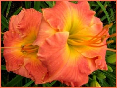 Photo of Daylily (Hemerocallis 'Polynesian Sunrise') uploaded by Calif_Sue