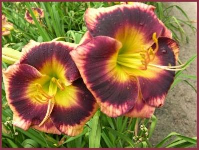 Photo of Daylily (Hemerocallis 'Jealous Dancer') uploaded by Calif_Sue