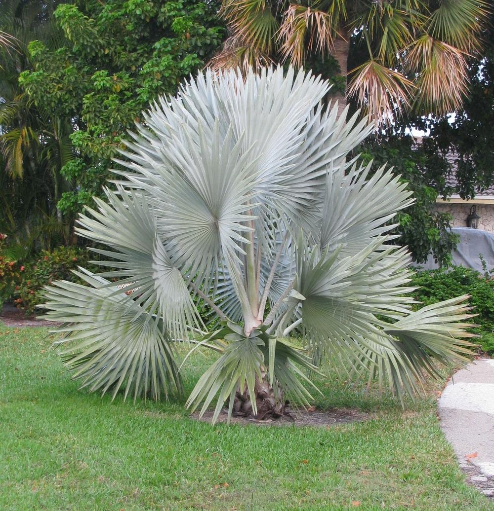 Photo Of The Entire Plant Of Bismarck Palm Bismarckia