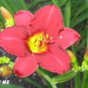 Location: BX Creek Daylilies, Vernon, BC.Photo by Gail Morgan of BX Creek Daylilies. Used with permission.