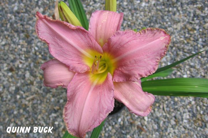 Photo of Daylily (Hemerocallis 'Quinn Buck') uploaded by mcash70