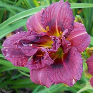 Photo courtesy of Gold Coast Daylilies